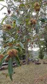 Kastanien / chestnuts